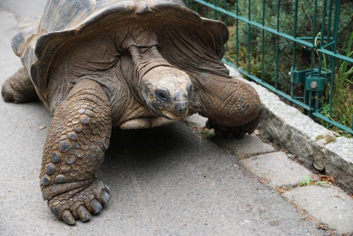 Schildkröte HUGO (c) Zoo Dresden